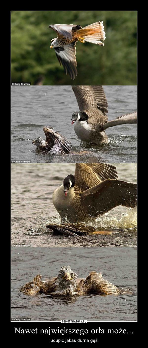Nawet największego orła może... – udupić jakaś durna gęś
