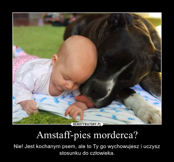 Amstaff-pies morderca? – Nie! Jest kochanym psem, ale to Ty go wychowujesz i uczysz stosunku do człowieka.