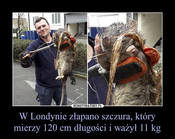 W Londynie złapano szczura, który mierzy 120 cm długości i ważył 11 kg –