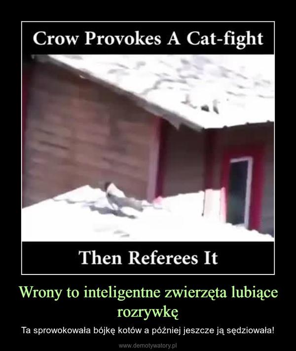 Wrony to inteligentne zwierzęta lubiące rozrywkę – Ta sprowokowała bójkę kotów a później jeszcze ją sędziowała!