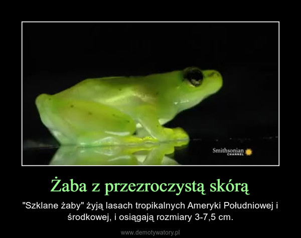 """Żaba z przezroczystą skórą – """"Szklane żaby"""" żyją lasach tropikalnych Ameryki Południowej i środkowej, i osiągają rozmiary 3-7,5 cm."""