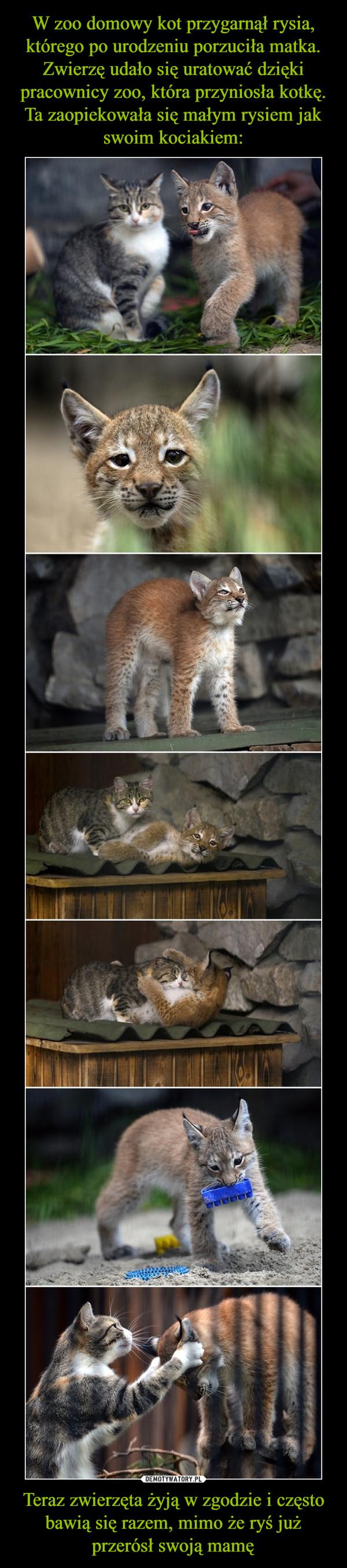 Teraz zwierzęta żyją w zgodzie i często bawią się razem, mimo że ryś już przerósł swoją mamę –