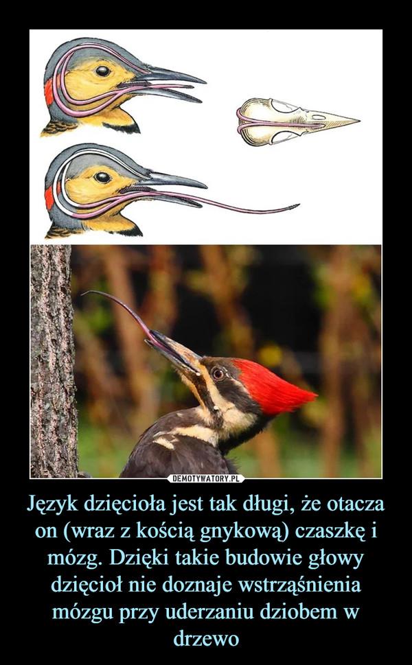 Język dzięcioła jest tak długi, że otacza on (wraz z kością gnykową) czaszkę i mózg. Dzięki takie budowie głowy dzięcioł nie doznaje wstrząśnienia mózgu przy uderzaniu dziobem w drzewo –