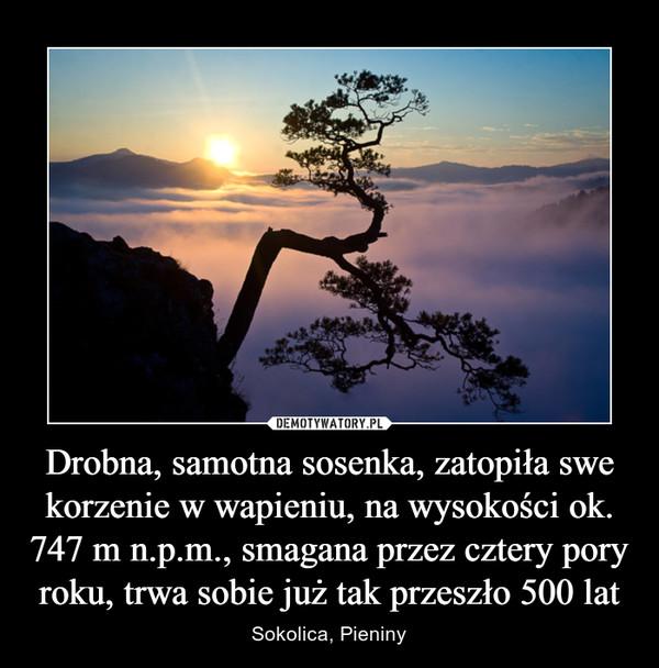 Drobna, samotna sosenka, zatopiła swe korzenie w wapieniu, na wysokości ok. 747 m n.p.m., smagana przez cztery pory roku, trwa sobie już tak przeszło 500 lat – Sokolica, Pieniny