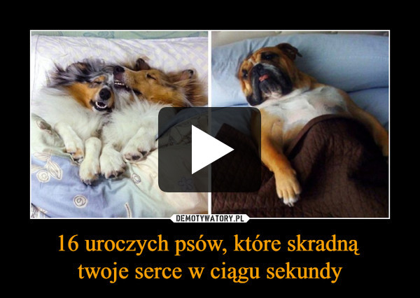 16 uroczych psów, które skradną twoje serce w ciągu sekundy –