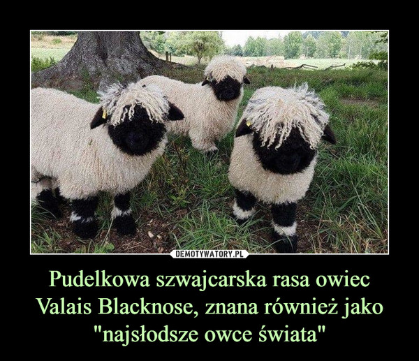 """Pudelkowa szwajcarska rasa owiec Valais Blacknose, znana również jako """"najsłodsze owce świata"""" –"""
