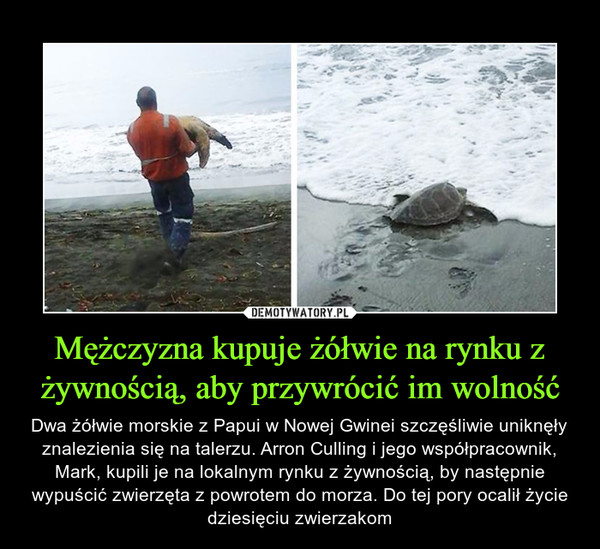 Mężczyzna kupuje żółwie na rynku z żywnością, aby przywrócić im wolność – Dwa żółwie morskie z Papui w Nowej Gwinei szczęśliwie uniknęły znalezienia się na talerzu. Arron Culling i jego współpracownik, Mark, kupili je na lokalnym rynku z żywnością, by następnie wypuścić zwierzęta z powrotem do morza. Do tej pory ocalił życie dziesięciu zwierzakom