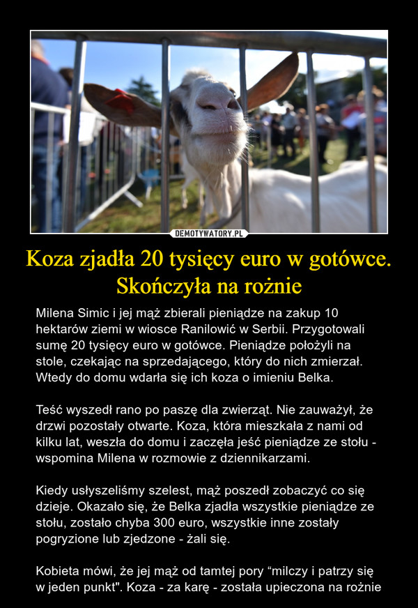 """Koza zjadła 20 tysięcy euro w gotówce. Skończyła na rożnie – Milena Simic i jej mąż zbierali pieniądze na zakup 10 hektarów ziemi w wiosce Ranilowić w Serbii. Przygotowali sumę 20 tysięcy euro w gotówce. Pieniądze położyli na stole, czekając na sprzedającego, który do nich zmierzał. Wtedy do domu wdarła się ich koza o imieniu Belka.Teść wyszedł rano po paszę dla zwierząt. Nie zauważył, że drzwi pozostały otwarte. Koza, która mieszkała z nami od kilku lat, weszła do domu i zaczęła jeść pieniądze ze stołu - wspomina Milena w rozmowie z dziennikarzami.Kiedy usłyszeliśmy szelest, mąż poszedł zobaczyć co się dzieje. Okazało się, że Belka zjadła wszystkie pieniądze ze stołu, zostało chyba 300 euro, wszystkie inne zostały pogryzione lub zjedzone - żali się.Kobieta mówi, że jej mąż od tamtej pory """"milczy i patrzy się w jeden punkt"""". Koza - za karę - została upieczona na rożnie"""