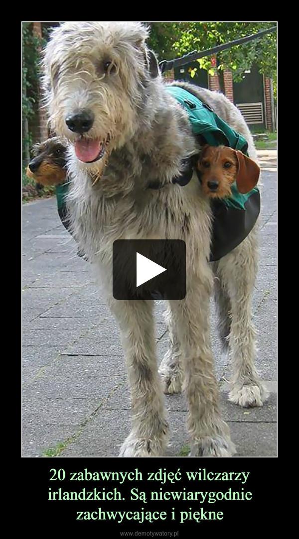 20 zabawnych zdjęć wilczarzy irlandzkich. Są niewiarygodnie zachwycające i piękne –
