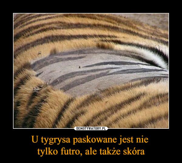 U tygrysa paskowane jest nie tylko futro, ale także skóra –