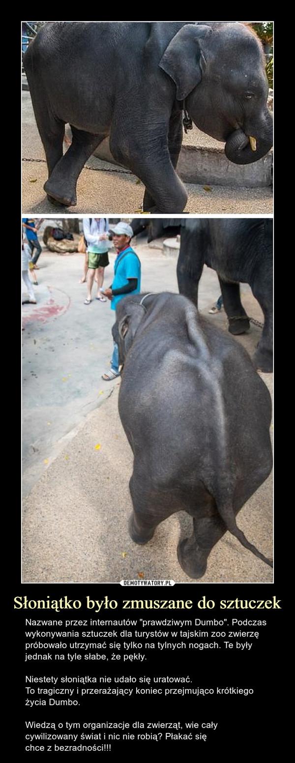 """Słoniątko było zmuszane do sztuczek – Nazwane przez internautów """"prawdziwym Dumbo"""". Podczas wykonywania sztuczek dla turystów w tajskim zoo zwierzę próbowało utrzymać się tylko na tylnych nogach. Te były jednak na tyle słabe, że pękły.Niestety słoniątka nie udało się uratować.To tragiczny i przerażający koniec przejmująco krótkiego życia Dumbo. Wiedzą o tym organizacje dla zwierząt, wie cały cywilizowany świat i nic nie robią? Płakać sięchce z bezradności!!!"""