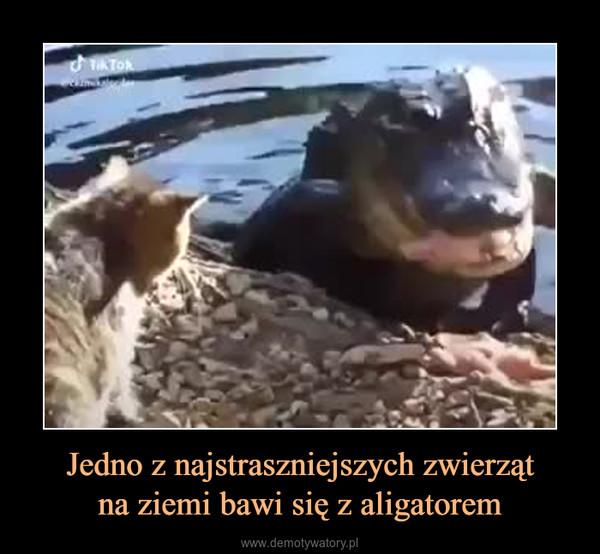 Jedno z najstraszniejszych zwierzątna ziemi bawi się z aligatorem –