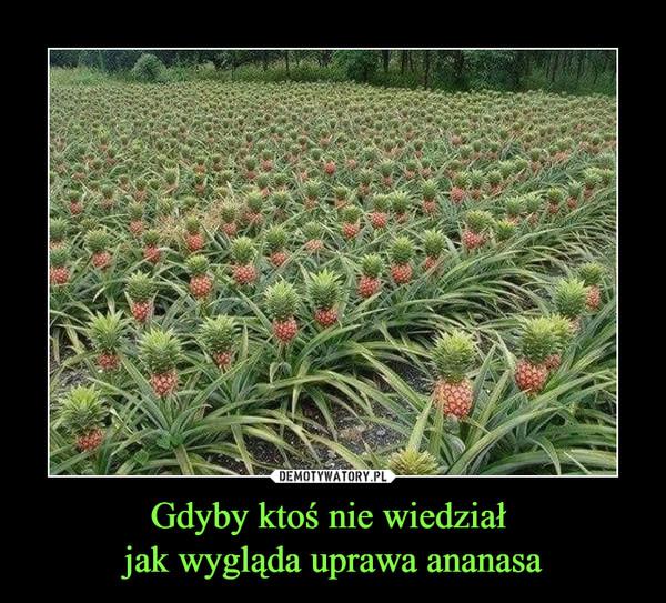 Gdyby ktoś nie wiedział jak wygląda uprawa ananasa –