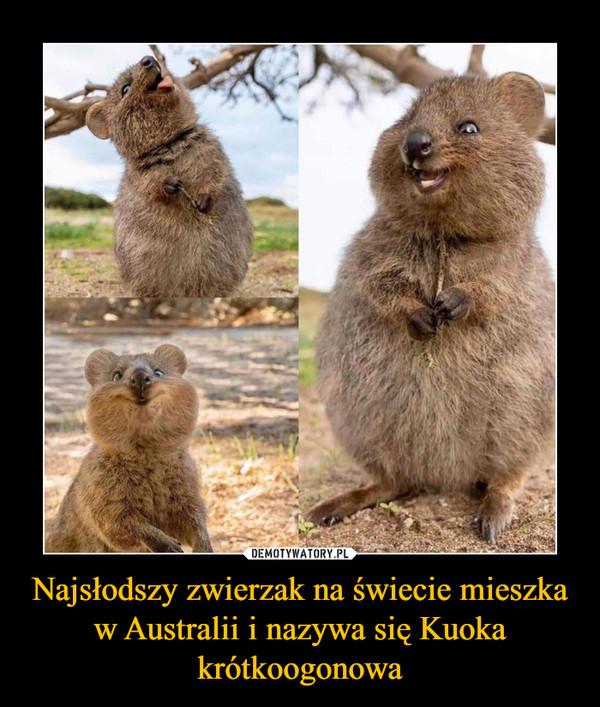 Najsłodszy zwierzak na świecie mieszka w Australii i nazywa się Kuoka krótkoogonowa –