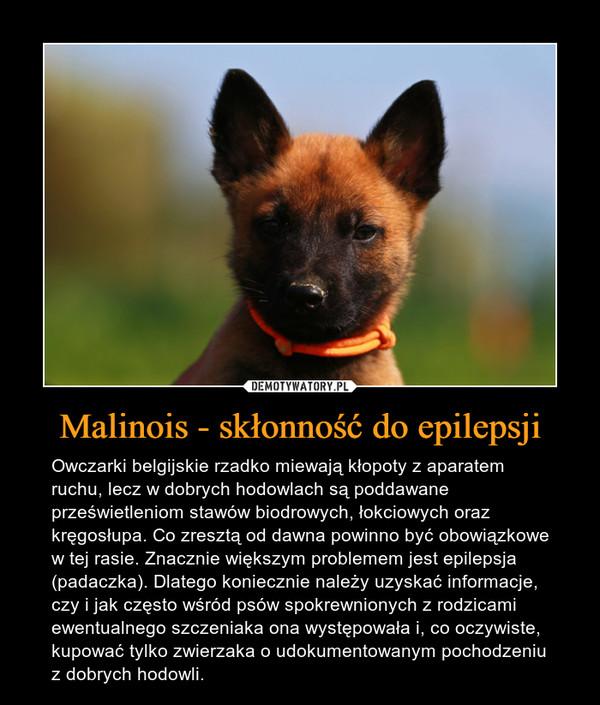 Malinois - skłonność do epilepsji – Owczarki belgijskie rzadko miewają kłopoty z aparatem ruchu, lecz w dobrych hodowlach są poddawane prześwietleniom stawów biodrowych, łokciowych oraz kręgosłupa. Co zresztą od dawna powinno być obowiązkowe w tej rasie. Znacznie większym problemem jest epilepsja (padaczka). Dlatego koniecznie należy uzyskać informacje, czy i jak często wśród psów spokrewnionych z rodzicami ewentualnego szczeniaka ona występowała i, co oczywiste, kupować tylko zwierzaka o udokumentowanym pochodzeniu z dobrych hodowli.