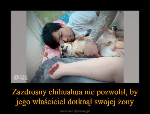 Zazdrosny chihuahua nie pozwolił, by jego właściciel dotknął swojej żony –