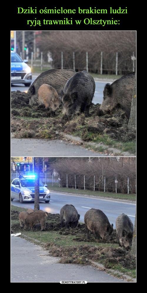 Dziki ośmielone brakiem ludzi  ryją trawniki w Olsztynie: