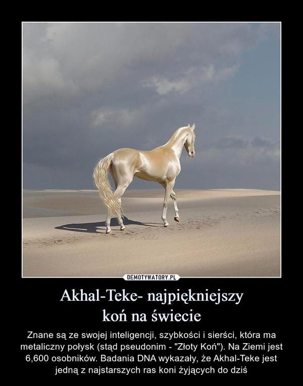 """Akhal-Teke- najpiękniejszykoń na świecie – Znane są ze swojej inteligencji, szybkości i sierści, która ma metaliczny połysk (stąd pseudonim - """"Złoty Koń""""). Na Ziemi jest 6,600 osobników. Badania DNA wykazały, że Akhal-Teke jest jedną z najstarszych ras koni żyjących do dziś"""