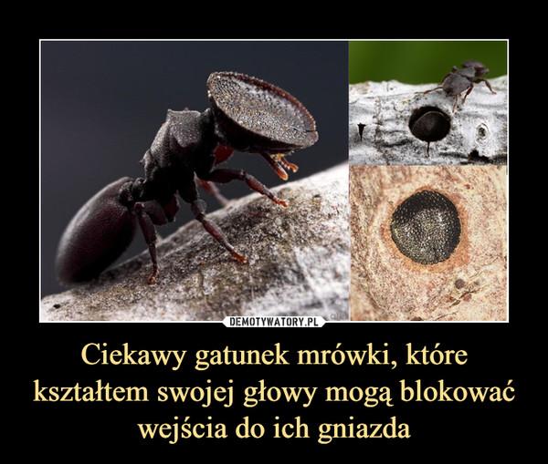 Ciekawy gatunek mrówki, które kształtem swojej głowy mogą blokować wejścia do ich gniazda –