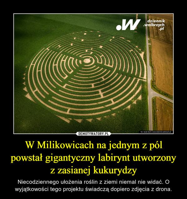 W Milikowicach na jednym z pól powstał gigantyczny labirynt utworzony z zasianej kukurydzy – Niecodziennego ułożenia roślin z ziemi niemal nie widać. O wyjątkowości tego projektu świadczą dopiero zdjęcia z drona.