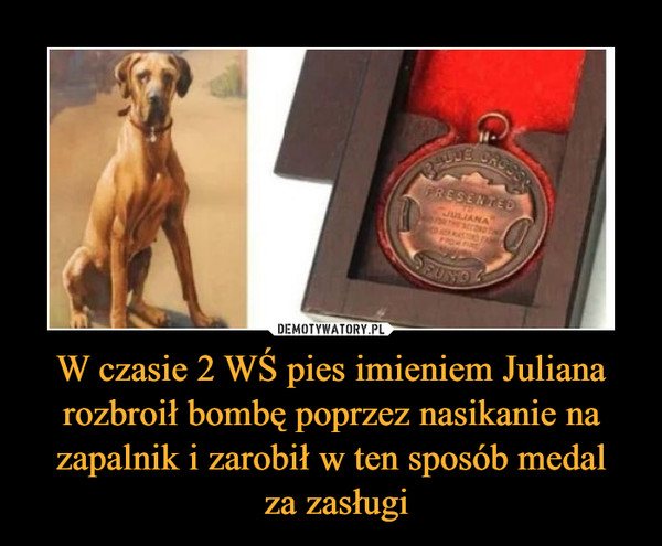 W czasie 2 WŚ pies imieniem Juliana rozbroił bombę poprzez nasikanie na zapalnik i zarobił w ten sposób medal  za zasługi