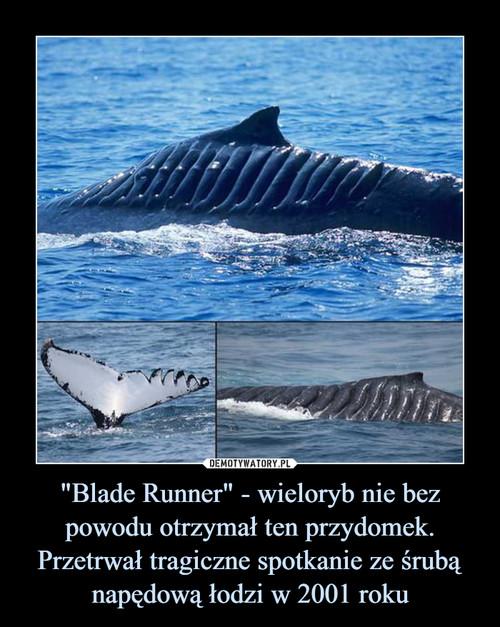 """""""Blade Runner"""" - wieloryb nie bez powodu otrzymał ten przydomek. Przetrwał tragiczne spotkanie ze śrubą napędową łodzi w 2001 roku"""