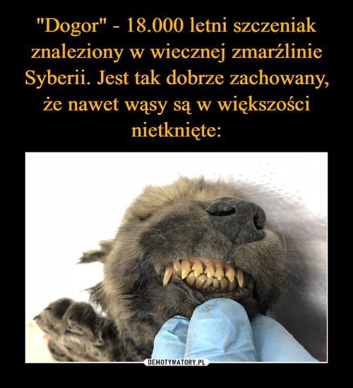 """""""Dogor"""" - 18.000 letni szczeniak znaleziony w wiecznej zmarźlinie Syberii. Jest tak dobrze zachowany, że nawet wąsy są w większości nietknięte:"""