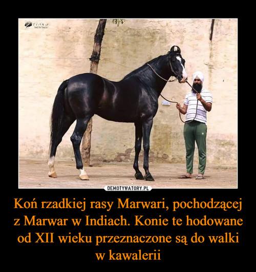 Koń rzadkiej rasy Marwari, pochodzącej z Marwar w Indiach. Konie te hodowane od XII wieku przeznaczone są do walki w kawalerii