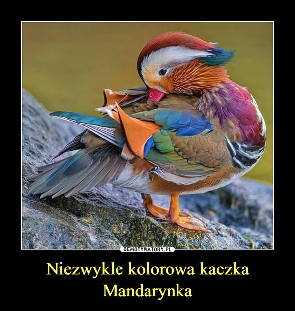 Niezwykle kolorowa kaczka Mandarynka –