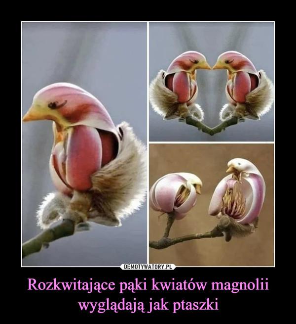 Rozkwitające pąki kwiatów magnolii wyglądają jak ptaszki –