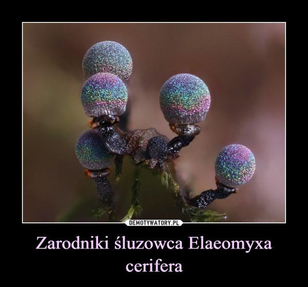 Zarodniki śluzowca Elaeomyxa cerifera –