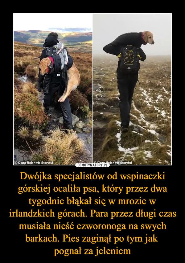 Dwójka specjalistów od wspinaczki górskiej ocaliła psa, który przez dwa tygodnie błąkał się w mrozie w irlandzkich górach. Para przez długi czas musiała nieść czworonoga na swych barkach. Pies zaginął po tym jak pognał za jeleniem –