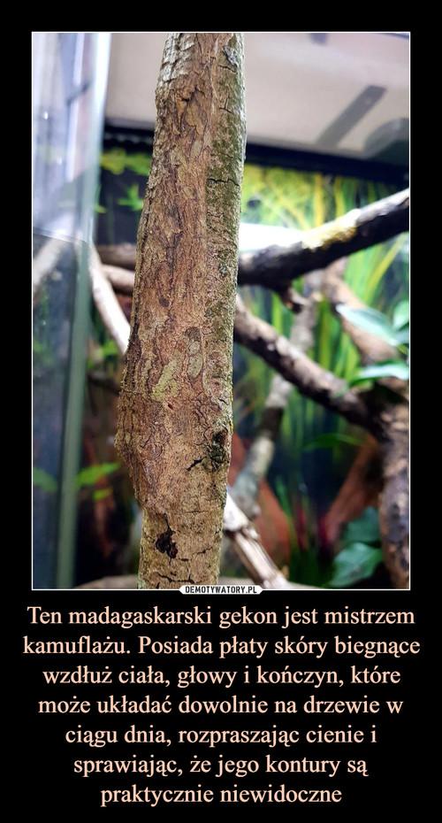 Ten madagaskarski gekon jest mistrzem kamuflażu. Posiada płaty skóry biegnące wzdłuż ciała, głowy i kończyn, które może układać dowolnie na drzewie w ciągu dnia, rozpraszając cienie i sprawiając, że jego kontury są praktycznie niewidoczne