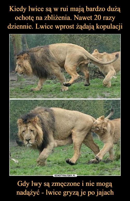 Kiedy lwice są w rui mają bardzo dużą ochotę na zbliżenia. Nawet 20 razy dziennie. Lwice wprost żądają kopulacji Gdy lwy są zmęczone i nie mogą nadążyć - lwice gryzą je po jajach