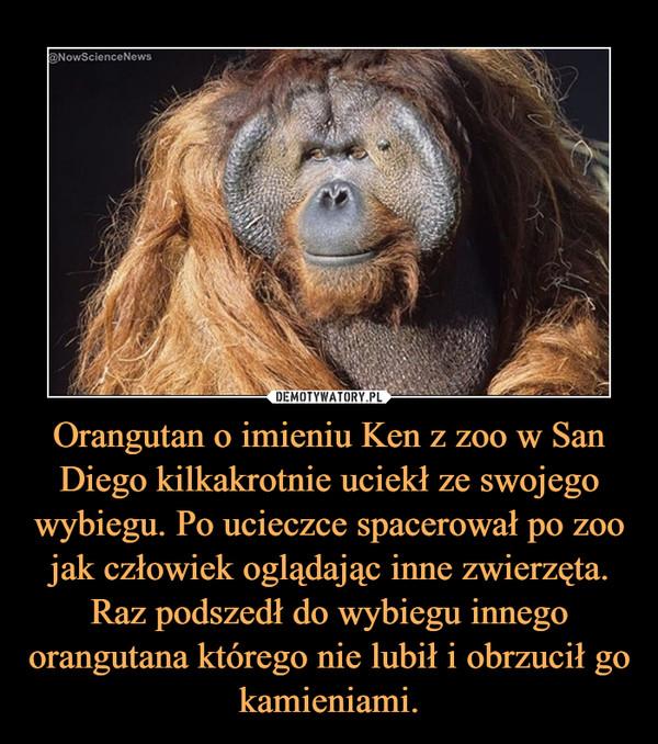 Orangutan o imieniu Ken z zoo w San Diego kilkakrotnie uciekł ze swojego wybiegu. Po ucieczce spacerował po zoo jak człowiek oglądając inne zwierzęta. Raz podszedł do wybiegu innego orangutana którego nie lubił i obrzucił go kamieniami. –
