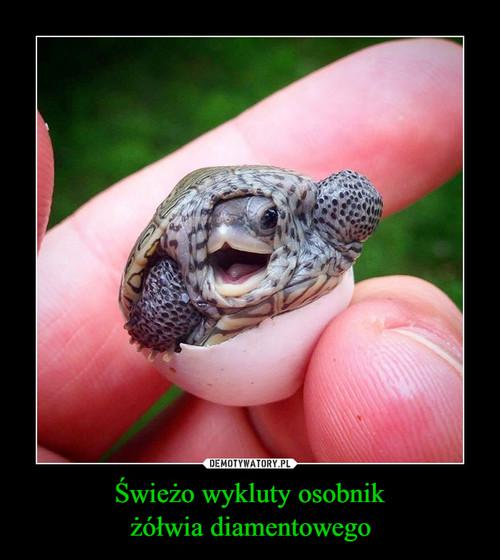 Świeżo wykluty osobnik żółwia diamentowego