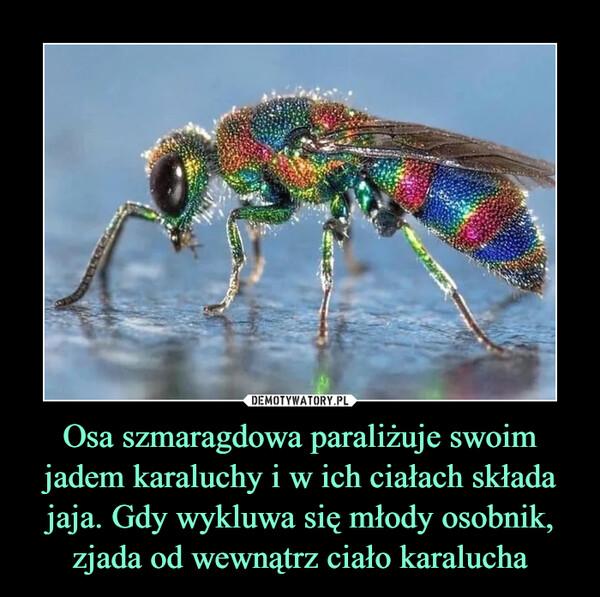 Osa szmaragdowa paraliżuje swoim jadem karaluchy i w ich ciałach składa jaja. Gdy wykluwa się młody osobnik, zjada od wewnątrz ciało karalucha –