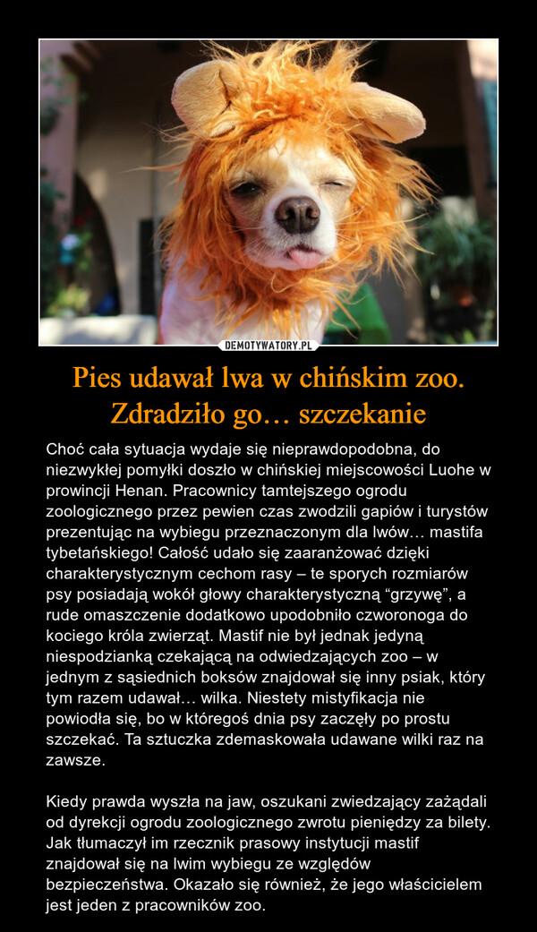 """Pies udawał lwa w chińskim zoo. Zdradziło go… szczekanie – Choć cała sytuacja wydaje się nieprawdopodobna, do niezwykłej pomyłki doszło w chińskiej miejscowości Luohe w prowincji Henan. Pracownicy tamtejszego ogrodu zoologicznego przez pewien czas zwodzili gapiów i turystów prezentując na wybiegu przeznaczonym dla lwów… mastifa tybetańskiego! Całość udało się zaaranżować dzięki charakterystycznym cechom rasy – te sporych rozmiarów psy posiadają wokół głowy charakterystyczną """"grzywę"""", a rude omaszczenie dodatkowo upodobniło czworonoga do kociego króla zwierząt. Mastif nie był jednak jedyną niespodzianką czekającą na odwiedzających zoo – w jednym z sąsiednich boksów znajdował się inny psiak, który tym razem udawał… wilka. Niestety mistyfikacja nie powiodła się, bo w któregoś dnia psy zaczęły po prostu szczekać. Ta sztuczka zdemaskowała udawane wilki raz na zawsze.Kiedy prawda wyszła na jaw, oszukani zwiedzający zażądali od dyrekcji ogrodu zoologicznego zwrotu pieniędzy za bilety. Jak tłumaczył im rzecznik prasowy instytucji mastif znajdował się na lwim wybiegu ze względów bezpieczeństwa. Okazało się również, że jego właścicielem jest jeden z pracowników zoo."""