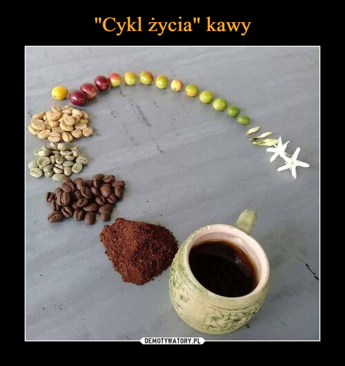 """""""Cykl życia"""" kawy"""